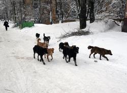 Мэрия нашла средства на отлов 387 бродячих собак