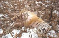 Под Хабаровском спасли истощенную и обмороженную тигрицу