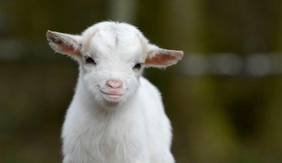 Когда и где козы стали домашними животными?
