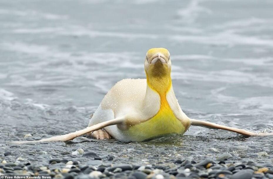 Фотограф впервые в истории нашел желтого пингвина. Почему он такого цвета?