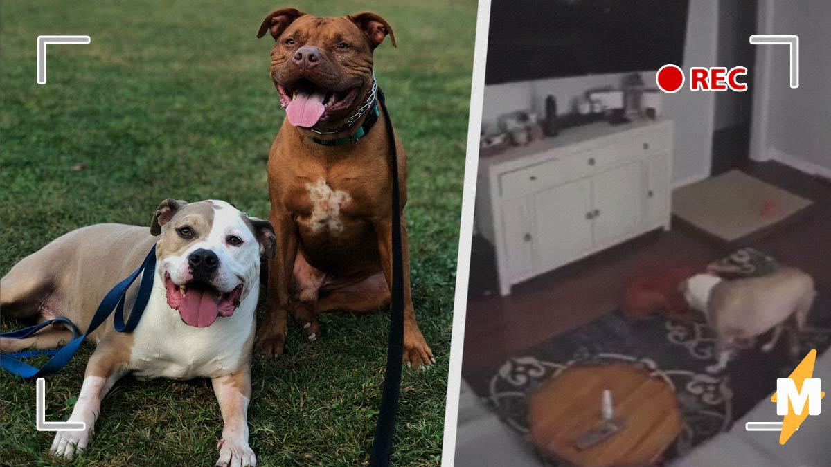 Хозяйка установила дома камеру, чтобы следить за псами. И узнала: собаки — лучшие друзья не только для людей