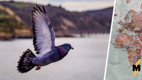 Гоночный голубь увлёкся и пролетел 13000 км. Если бы он знал, как его наградят за рекорд, — стал бы вокзальным