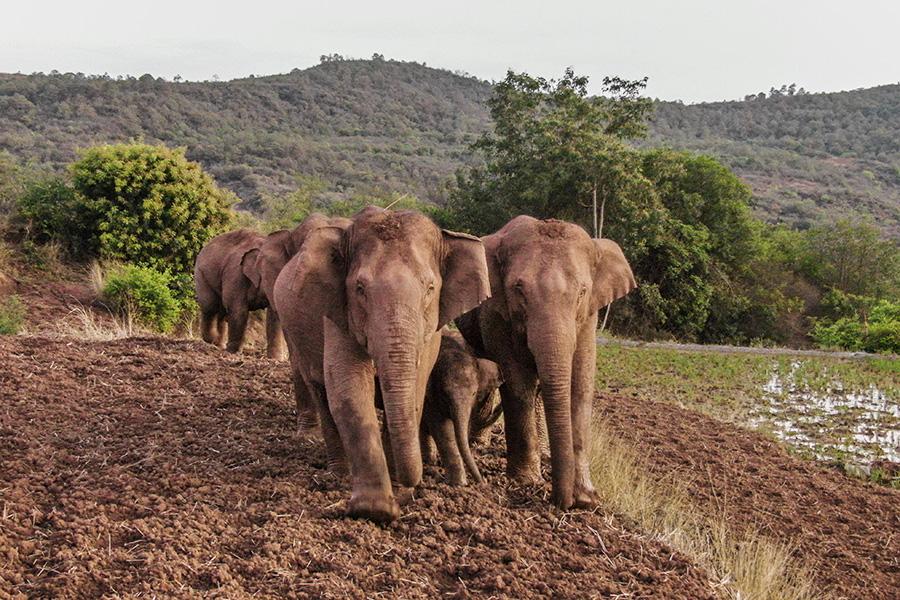 Покинувшие заповедник на юге Китая слоны прошли уже более 500 км