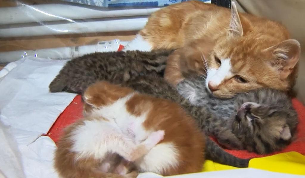 В Приморье домашняя кошка взяла на воспитание леопардовых котят